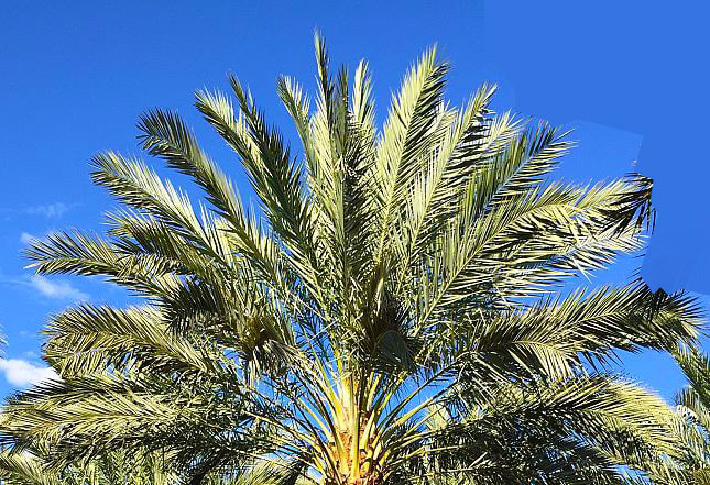 Medjool Date Palms Same Day Creative Solutions