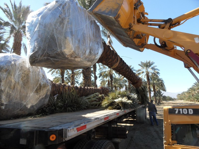 Medjool Date Palms Same Day Creative Solutions Product